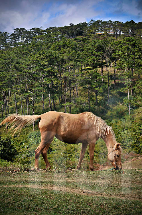 Horse grazing along a hillside in Dalat, Lam Dong Province, Vietnam, Southeast Asia