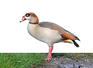 Egyptian Goose - Alopochen aegyptiacus. L 65-72cm. Striking Shelduck-sized bird. In flight, bold white patch on inner wing useful for identification. Bill and legs are pink. Sexes are similar. Adult has grubby white head and neck; pale eye is surrounded by dark patch. Orange-buff breast is clearly separated from paler neck and darker, grey-buff belly; note small, dark patch on centre of breast. Back is dark grey-brown; note white and chestnut on wing, seen in resting birds. Juvenile is similar but colours are duller; dark breast spot and patch around eye are absent. Voice Mostly silent. Status Introduced from Africa but now well established and increasing. Usually seen near water, often on nearby grassland.
