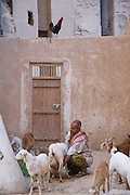 """A man milks a goat in a backyard in the town of Shibam, Hadhramawt, Yemen. Shibam is a World Heritage Site. The old walled city with it's talk mud brick buildings has been called 'the Manhattan of the desert""""."""