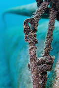 short-snouted seahorse (AKA Giant Sea Horse) (Hippocampus hippocampus) at shallow water in the Mediterranean coast of Israel.