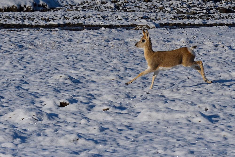 Tibetan gazelle or Goa (Procapra picticaudata) jumping or running at Keke Xili, Changtang, Tibetan Plateau, Qinghai, China