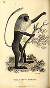 Full Bottom Monkey from General zoology, or, Systematic natural history Part I, by Shaw, George, 1751-1813; Stephens, James Francis, 1792-1853; Heath, Charles, 1785-1848, engraver; Griffith, Mrs., engraver; Chappelow. Copperplate Printed in London in 1800. Probably the artists never saw a live specimen