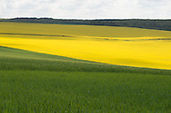 France, Burgundy region. landScape. yellow rape fields
