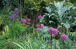 Cynara cardunculus ( cardoon ) with Iris sibirica and Allium giganteum