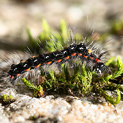 Caterpillar of a tussock moth species Euproctis piperita, photographed at Hontanikawa Keikoku in Yamanashi Prefecture, Japan. キドクガ, 本谷川渓谷, 山梨県