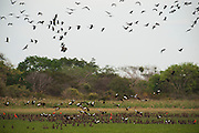 Mixed flock of whistling ducks & Ibis. White-faced Whistling Duck (Dendrocygna viduata) & Black-bellied Whistling-duck (Dendrocygna autumnalis) & Scarlet Ibis (Eudocimus ruber)<br /> Hato Masaguarel working farm and biological station, Guárico Province, VENEZUELA. South America.<br /> The Llanos are flood plains stretching north of the Orinoco River to the Andean foothills, covering 300,000sq km in Venezuela and another 220,000 sq km in Colombia. This area has poor soil but is rich in its river systems which floods in the wet season leaving shallow marshes which nourish a high concentration of birds and animals.