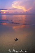 loggerhead sea turtle hatchling, Caretta caretta, crawls across beach toward ocean at sunrise, Florida, USA ( Western Atlantic Ocean )