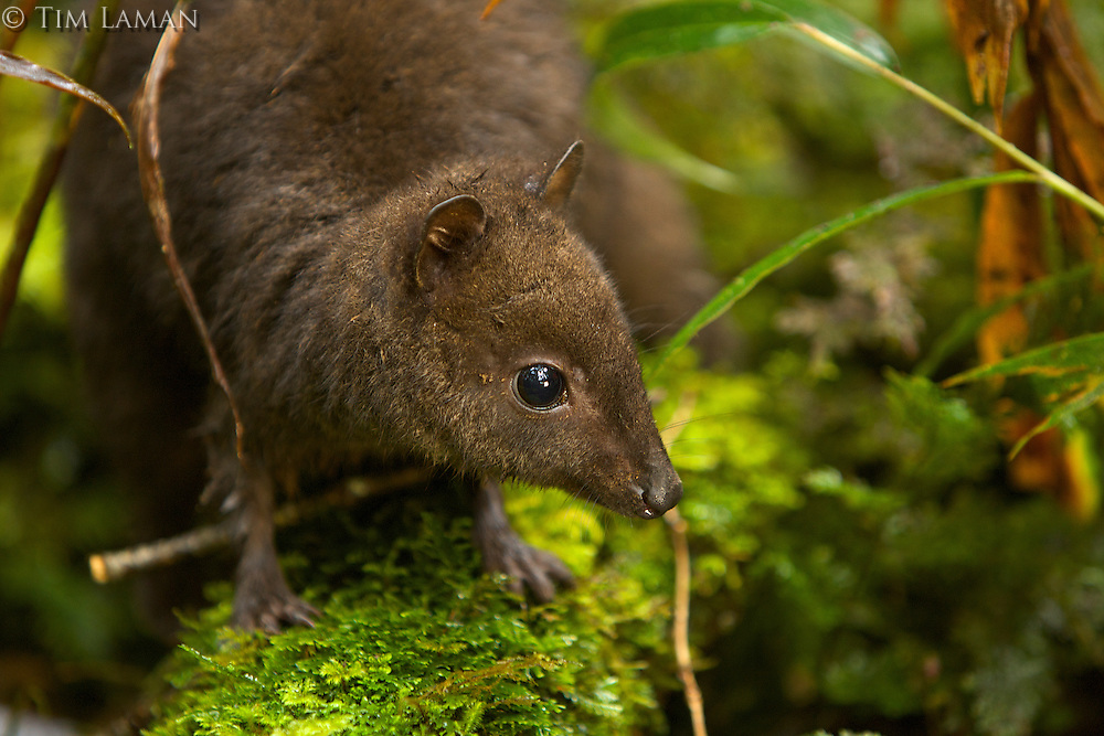 Dwarf Wallaby (Dorcopsulus sp. nov.)<br />New species of wallaby from the Foja Mountains discovered by Kris Helgen.  Smallest member of the Kangaroo family in the world.  Near Bog Camp at 1650m