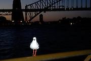 One-legged seagull on railing, with Sydney Harbour Bridge at sunset in background. Sydney, Australia