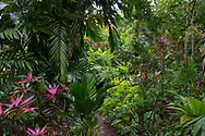 Purple leaved Cordyline Fruiticosa in the Gemrose Eden Garden, St. David's, Grenada, West Indies, The <br />Caribbean