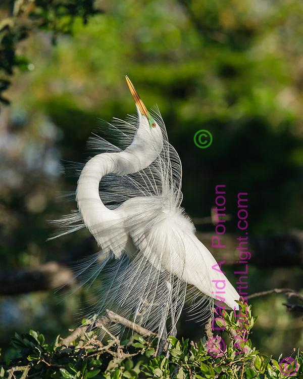 Great egret breeding display, showing plumes, Florida, © David A. Ponton