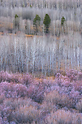 Aspen trees and willow bushes transition from autumn to winter dress at Conway Summit, on the eastside of California's Sierra Nevada mountains.