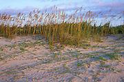 Dunes, Fiddle-leaf morning glory, Seat oats