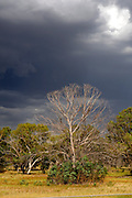 Dead, leafless tree, with storm clouds approaching in background. Eden Hill, Perth, Western Australia