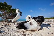 Laysan albatross, Phoebastria immutabilis, preening, Sand Island, Midway Atoll, Midway National Wildlife Refuge, Papahanaumokuakea Marine National Monument, Northwest Hawaiian Islands, USA ( North Pacific Ocean )