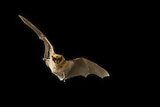 A western long-legged bat (Myotis volans) flying at night in the Coconino National Forest, Arizona.