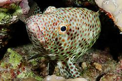 Epinephelus tauvina, Braunflecken Zackenbarsch, Greasy or Arabian grouper, St. Johns Riff Reef, Rotes Meer, Ägypten, Red Sea Egypt