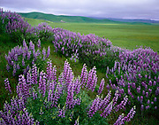 Lupine, Clearing Storma nd the Caliente Range, Carrizo Plain National Monument, California