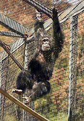 Bernie, one of two new chimpanzees acquired by the Oakland Zoo, swings through his enclosure Tuesday, Aug. 24, 2010 in Oakland, Calif. (D. Ross Cameron/Staff)