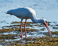 White Ibis (Eudocimus albus). Fort De Soto County Park. St. Petersburg, Florida. Image taken with a Nikon D3x camera and 500 mm f/4 VR lens.