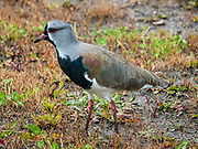 A southern lapwing (Vanellus chilensis) bird in El Calafate, Santa Cruz Province, Argentina, Patagonia, South America. The southern lapwing, a wader in the order Charadriiformes, is a common resident widespread in South America. It's the national bird of Uruguay. It has also been spreading through Central America and reached Trinidad in 1961 and Tobago in 1974.