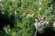 Les vautours des gorges de la Jonte.