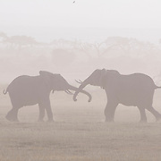 African Elephant (Loxodanta africana) pair in a dust storm. Amboseli National Park, Kenya, Africa