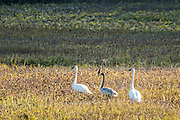 A family of trumpeter swans walk through Potter Creek at Turnagain Arm outside Anchorage, Alaska. Trumpeter swans are the largest of North American waterfowl and have a wing span of 7 feet.