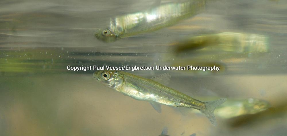 Lake Whitefish (juvenile)<br /> <br /> Paul Vecsei/Engbretson Underwater Photo