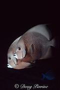 courting gray angelfish, Pomacanthus arcatus, at dusk, Bahamas (Atlantic)