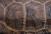 Wood Turtle (Glyptemys insculpta) carapace detail<br /> CAPTIVE<br /> USA<br /> HABITAT & RANGE: Near streams and rivers form Nova Scotia to Minnesota and Virginia.<br /> ENDANGERED SPECIES