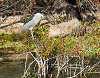 Black-crowned night heron (Nycticorax nycticorax) on a post in Lake Chapala, Jalisco, Mexico