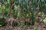 Hawaii's native Hala tree is also known as Tahitian Screwpine, Pu Hala, Screw Pine, Textile Screwpine, Thatch Screwpine, Pandanus, Pandan, Tourist Pineapple or Pineapple Tree (Pandanus tectorius, or synonyms: P. chamissonis, P. douglasii, P. menziesii, P. odoratissimus; in the Screw-pine family, Pandanaceae). Some people mistake hala fruit heads for pineapples, which are unrelated plants. Cultivated varieties of Hala differing from the native version were brought to Hawaii by the ancient Polynesians in their canoes. Hala was useful for medicinal purposes, and the fruit was eaten and used to make leis. Its roots could make cordage. Hala leaves served as thatch and could be stripped of spiny edges to be woven or plaited into mats, pillows, sails, baskets, hats, sandals, and fans. A beautiful day hike along the slippery Kalalau Trail goes from Ke'e Beach to Hanakapiai Beach, with a rougher side trip to impressive Hanakapiai Falls, in Na Pali Coast State Wilderness Park on the island of Kauai, Hawaii, USA. To reach Hanakapiai Valley's waterfall, follow the signed clay trails for a moderately strenuous 8.8 miles round trip with 2200 feet cumulative gain (measured on my GPS)