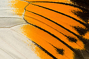 A macro abstract image of an upper wing section of a giant orange-tip butterfly (Hebomia galucippe) showing the bright pattern and arrangement of the wing scales. Long Sutton Wildlife Park. Lincolnshire