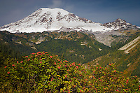 Autunm colors paint the slopes of Stevens Canyon with Mount Rainier and Little Tahoma towering above.  The road connects Paradise with Ohanapecosh by following high on the north slope of the canyon.  The bush in the foreground is a Mountain Ash (Sorbus americanus)