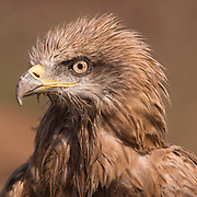 Closeup portrait Black Kite (Milvus migrans) Photographed at the Ein Afek nature reserve, Israel in October