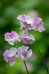 Lathyrus odoratus 'Sir Jimmy Shand' - Sweet pea
