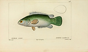 Anabas from Histoire naturelle des poissons (Natural History of Fish) is a 22-volume treatment of ichthyology published in 1828-1849 by the French savant Georges Cuvier (1769-1832) and his student and successor Achille Valenciennes (1794-1865).