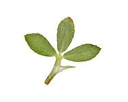 Rough Clover - Trifolium scabrum