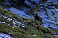 Ibex (Capra Ibex) watchout on cloudy early morning, Hohe Tauern National Park, Carinthia, Austria