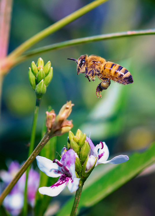 I bee in mid flight attempting to make a floral landing