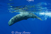 baby sperm whale calf ( Physeter macrocephalus ) rolling upside-down at surface - Endangered Species Kona Hawaii ( Central Pacific Ocean )