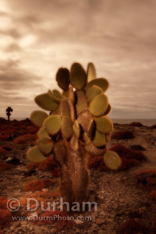 Cactus tree (Opuntia echios) surrounded by orange sesuvium plants (Sesuvium edmondstonei) on South Plazas Island, Galapagos Archipelago - Ecuador.