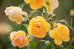 Rosa 'Buttercup' syn. 'Ausband'