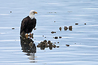 Bald Eagle (Haliaeetus leucocephalus) (Halietus leucocephalus) sits on a Pacific Oyster bed in Hood Canal of Puget Sound, Washington state, USA