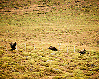 Andean Condor in flight while traveling from Estancia Lazo to Hosteria Lago Grey. Torres del Paine National Park, Chile. Image taken with a Nikon D3s camera and 70-300 mm VR lens (ISO 200, 300 mm, f/5.6, 1/320 sec).