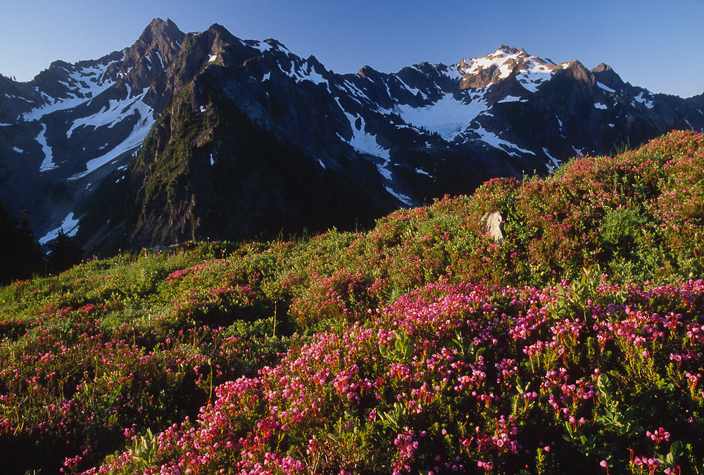 Mount LaCrosse and White Mountain, pink heather, viewed from Anderson Pass area, Olympic National Park, Washington, USA