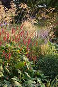 Autumn border with Persicaria affinis 'Superba' RHS, Perovskia 'Blue Spire', Stipa gigantea, Verbena bonariensis  and Buxus - box ball - September