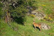 Roe deer, Capreolus capreolus, Deven area, Western Rhodope mountains, Bulgaria
