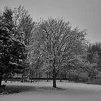 Snow covered maple tree. Image taken with a Fuji X-T1 camera and 16 mm f/1.4 lens (ISO 200, 16 mm, f/8, 1/320 sec). Raw image processed with Capture One Pro (including conversion to B&W).